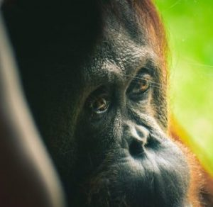 RSPO sustainable palm oil - save the orangutans
